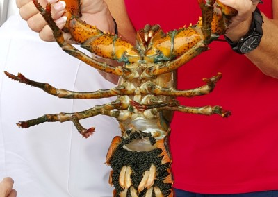 female lobster with eggs (Large)